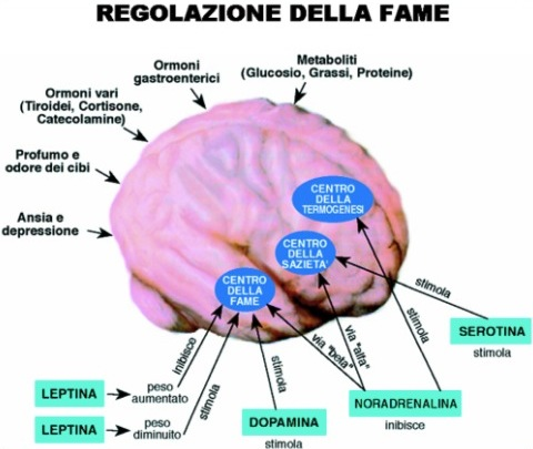 Regolazione della fame nel nostro cervello, comportamento alimentare