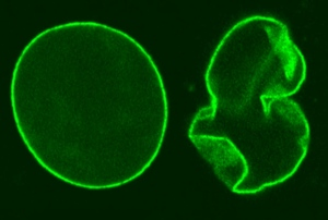 Microscopia a fluorescenza. Deformazione scaffold Lamina A