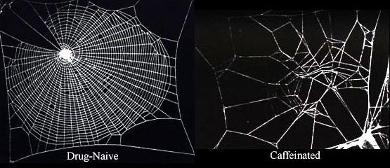 Ragno prima e dopo somministrazione di caffeina: la capacità di tessere la tela secondo la classica conformazione geometrica è del tutto compromessa Fonte: Wikipedia