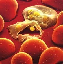 Rilascio del parassita da parte di eritrociti infetti.