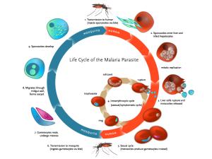 Ciclo vitale del Plasmodio della Malaria.