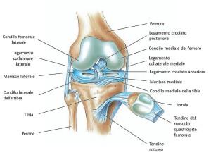 Rappresentazione anatomica dell'articolazione del ginocchio