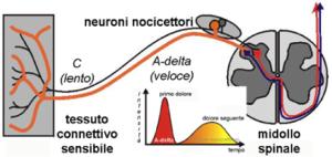 Tipi di neurotrasmettitori