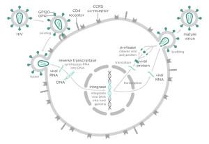 Schema illustrante le modalità con cui l'HIV penetra e infetta la cellula